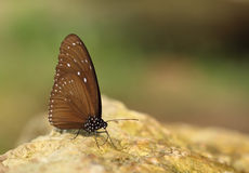 Common Indian Crow butterfly (Euploea core Lucus) Royalty Free Stock Photo