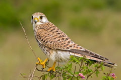 Common Indian Kestrel Stock Photography