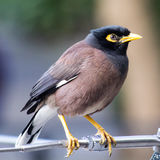 Common (Indian) Myna Royalty Free Stock Images