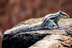 Common Indian squirrel on a Cornish. Common india squirrel sitting on terrace wall looking around for nuts and fruits or food wonderful back and white stripe on stock photography