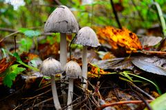 Common ink cap Stock Photo