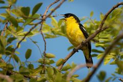 Free Common Iora - Aegithina Tiphia Small Yellow And Black Passerine Bird Found Across The Tropical Indian Subcontinent With Royalty Free Stock Photo - 157608425