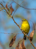 Common Iora bird perched on a tiny little branch. Royalty Free Stock Photos