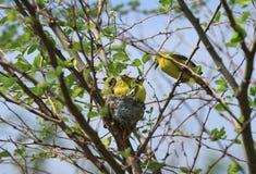 Common iora birds family Royalty Free Stock Image