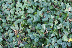 Common ivy full frame Royalty Free Stock Photography