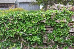 Common Ivy Stock Photography