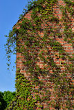 Common ivy (Hedera helix) on a ancient  brick wall Stock Photo