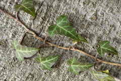 Common Ivy Hedera helix Royalty Free Stock Photography
