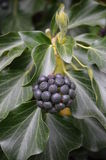 Common Ivy (Hedera helix) Royalty Free Stock Photo