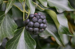 Common Ivy (Hedera helix) Stock Images