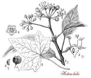 Common ivy (Hedera helix),botanical vintage engraving Royalty Free Stock Photography