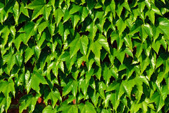 Common ivy (Hedera helix) on a brick wall Royalty Free Stock Photo