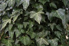 Common ivy Hedera helix an evergreen climbing plant for garden. And park, nature background with copy space, close up with selected focus and narrow depth of royalty free stock photography