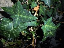 Common ivy Hedera helix Royalty Free Stock Images