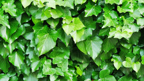 Common ivy Hedera helix Royalty Free Stock Photo
