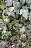 Ivy, Hedera helix leaves Stock Photos
