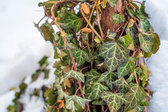 Common Ivy or Hedera helix Stock Image