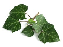 Common ivy (Hedera helix) Stock Photo