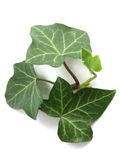 Common ivy (Hedera helix) Stock Photography