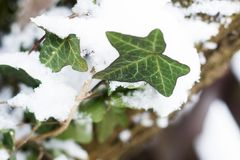 Common ivy leaves covered in snow stock images