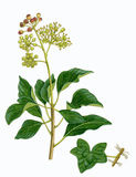 Common Ivy sprig (Hedera helix). Watercolour illustration of a Common Ivy sprig (Hedera helix Royalty Free Stock Photography