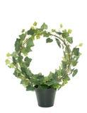 Common ivy in studio stock image