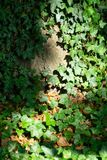 Common Ivy on a tree royalty free stock images