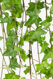 Common ivy vine and leaves close up. Close up of bright green foliage of Hedera helix vine, aka Common or English ivy Royalty Free Stock Image