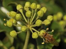 Common Ivy with Yellow Dung Fly Royalty Free Stock Image
