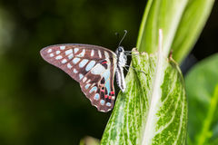 Common Jay butterfly Royalty Free Stock Images