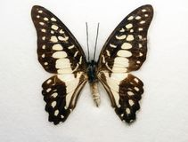 Common Jay Butterfly Graphium doson Stock Photo
