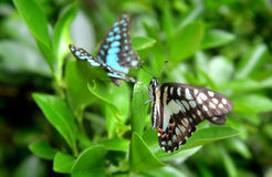 The common jay butterfly Royalty Free Stock Photo