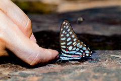 Common jay butterfly with human finger Royalty Free Stock Photography