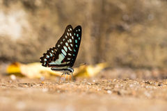 Common Jay (Graphium doson) Butterfly Royalty Free Stock Photos