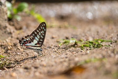 Common Jay (Graphium doson) Butterfly Royalty Free Stock Photo