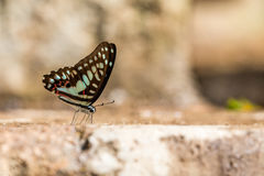 Common Jay (Graphium doson) Butterfly Stock Photography