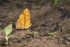Common Jester butterfly, Symbrenthia lilaea, Garo Hills, Meghalaya