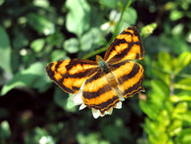 Common Jester butterfly Symbrenthia Lilaea Stock Image