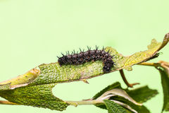 Common Jester caterpillar Royalty Free Stock Photo