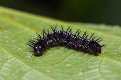 Common Jester caterpillar Royalty Free Stock Photos