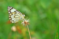 Common jezebel butterfly Stock Images