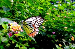Common Jezebel Butterfly Royalty Free Stock Photos