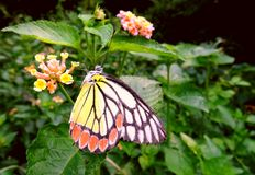 Common Jezebel Butterfly Royalty Free Stock Image