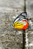 Common jezebel butterfly Royalty Free Stock Images