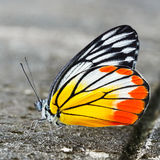 Common jezebel butterfly Stock Photography