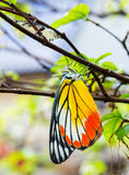 Common jezebel butterfly Stock Photos