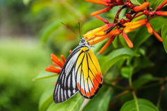 Common jezebel butterfly or delias eucharis Royalty Free Stock Image
