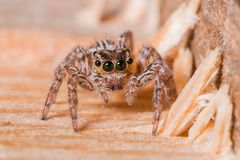 Common Jumping Spider stock image