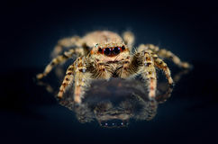 Common Jumping Spider reflecting on black background. Common brown jumping spider that runs over a black background and is reflecting itself Stock Photography