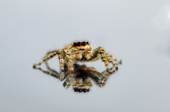 Common Jumping Spider reflecting on white background Royalty Free Stock Photography